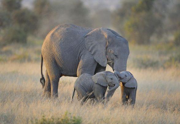 В Кении разъяренная слониха напала на пикап защищая малышей