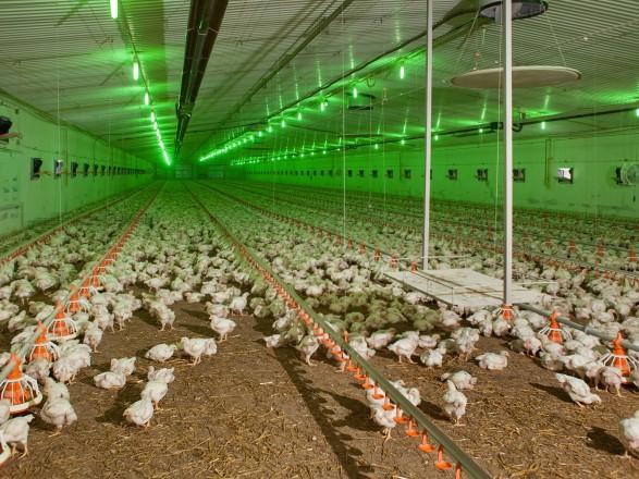 Винницкая область стала лидером по производству мяса птицы