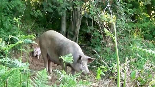 Беременная свинья Матильда сбежала с фермы, чтобы спасти своих детей