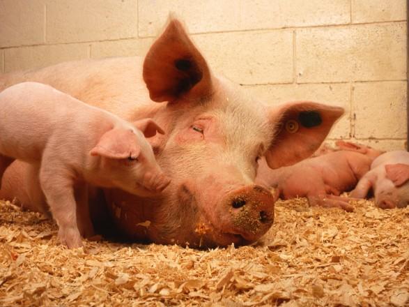 Ужасы в Испании: свиньи-матери вынуждены смотреть, как их дети умирают в агонии