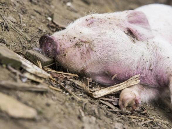 Тушки мертвых домашних свиней обнаружили на Харьковщине