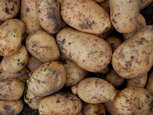 Эксперт прогнозирует рост стоимости картофеля в конце октября
