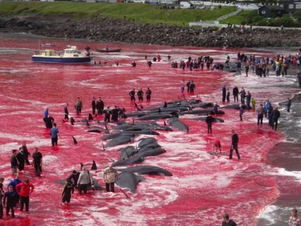 На Фарерских островах жестоко убили более 1400 дельфинов