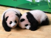 У Китаї показали дитинчат-близнюків великої панди