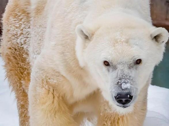 В США умер старейший белый медведь в Северной Америке