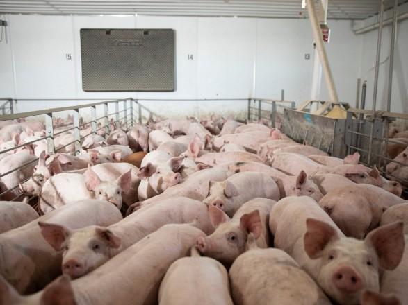 Ученые пытались скрыть гибель свиней во время эксперимента