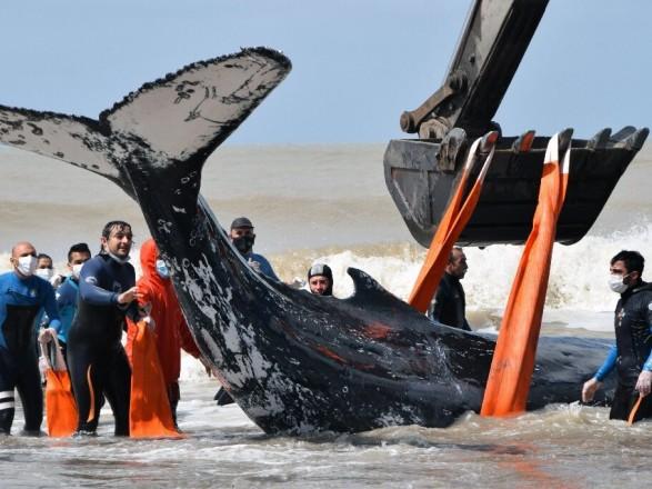 В Аргентине спасли горбатых китов, которых выбросило на мель
