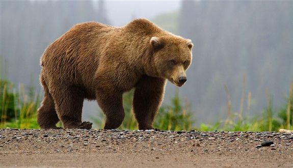 В США посадили женщину за нарушение дистанции с медведем гризли