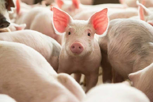 Свиноводство в Украине «сворачивается» — Ассоциация